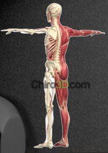 3D Anatomical Wall Graphics