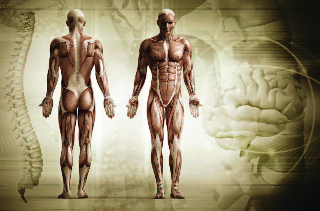 Understand fascial system