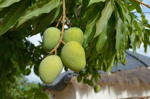 African mango has health benefits.